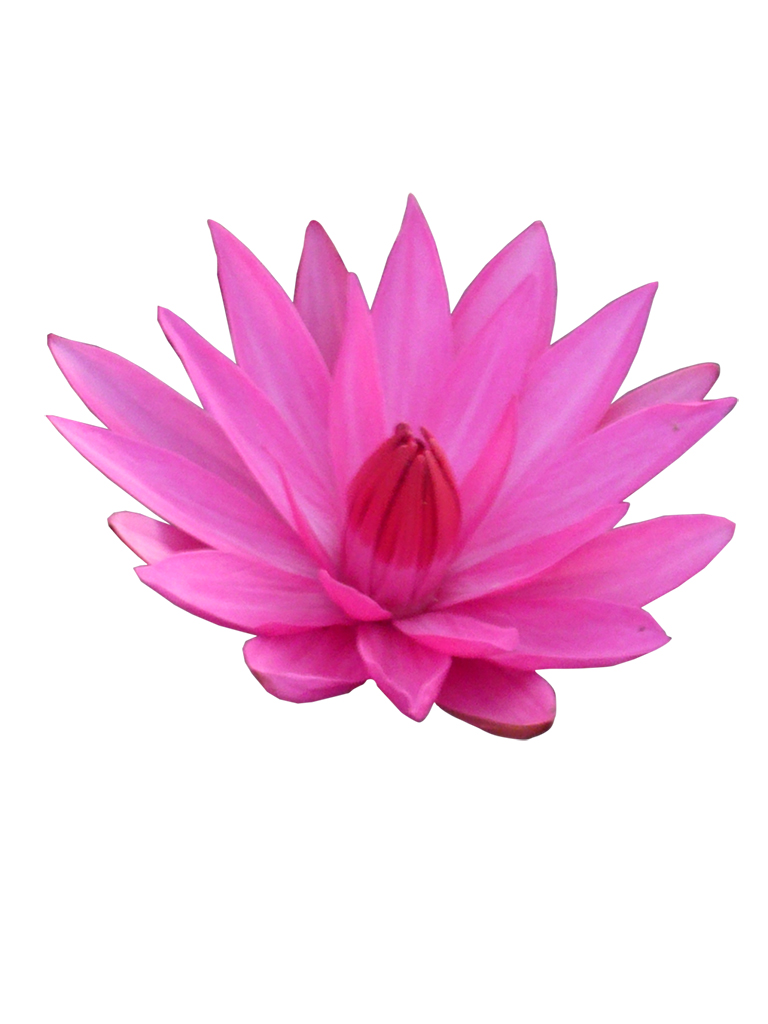 Lotus Flower Scented Beeswax Melts For Oil Burners Elfyshop
